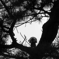 Corbeau casqué - 2016, Tokyo, Japon
